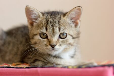 Cute gray kitten sitting on the colored surface.