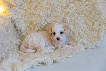 Chinese Crested powderpuff puppy on the white coat.