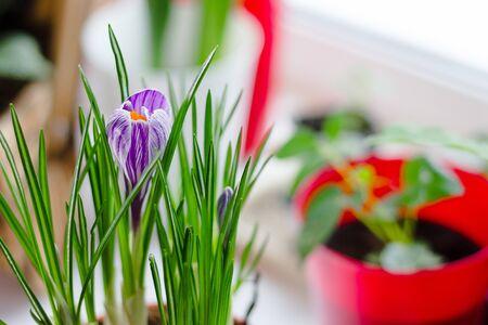 Beautiful purple crocus flower blooming in a pot
