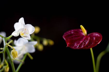 White phalaenopsis and red anthurium flowers over black background Stockfoto