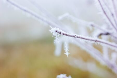 Branch of plant at cold morning covered by frost