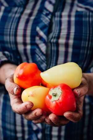 Farmer hands holding bell peppers on farm 版權商用圖片