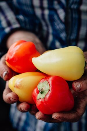 Farmer hands holding bell peppers on farm Stockfoto