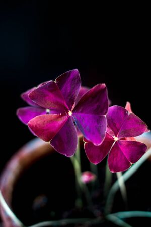 Beautiful oxalis purpurea leaves over black background