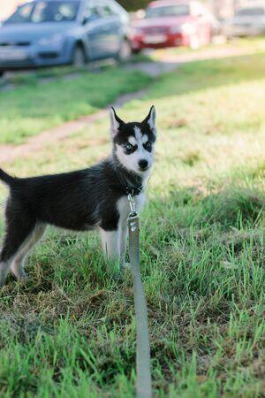 Little husky puppy at walk on green park 版權商用圖片