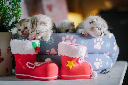 Gray scottish kittens during christmas celebration.