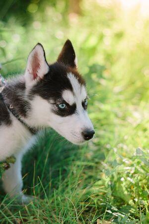 Beautiful little husky dog - symbol of 2018.
