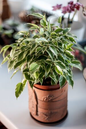 Ficus benjamina kinky in a clay pot