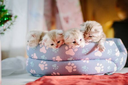 Four gray kittens in a pet pad.