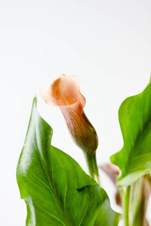Beautiful orange calla on a white background.