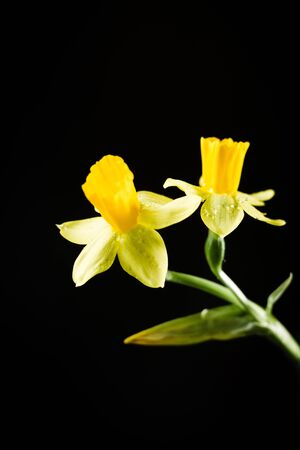 Daffodil or narcissus flowers on a black background 스톡 콘텐츠