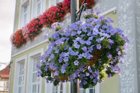 Beautiful petunia flowers in a house at morning Banco de Imagens