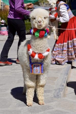 Baby Alpaca Peru Stock Photo