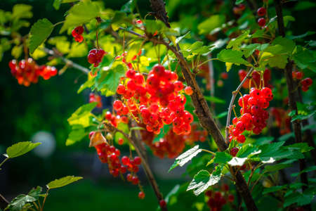 Ripe red currants just before harvest in a garden in Lower Bavaria Germany