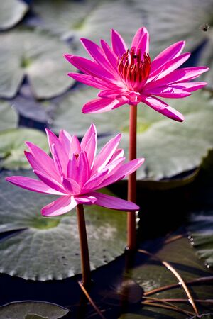 nymphaeaceae: Red Water Lilies Stock Photo