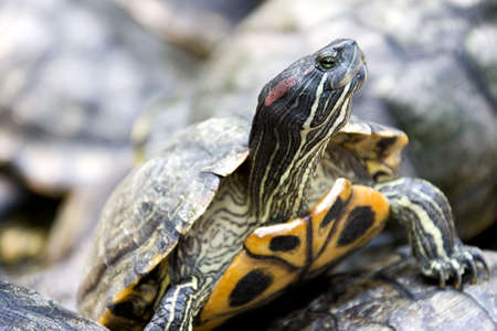 south east asian: Sur de Asia oriental tortuga  Foto de archivo