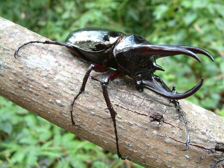 coleoptera: Tropical Rainforest Beetle