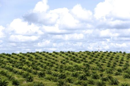 oil palm: Oil Palm Estate Stock Photo