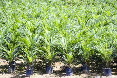 palm oil plantation: Oil Palm Seedlings