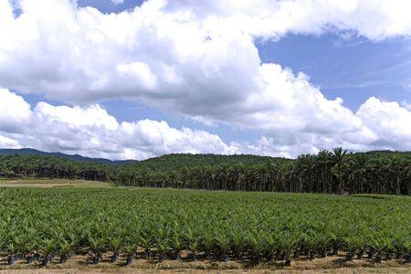 palm oil plantation: Oil Palm Estate Stock Photo