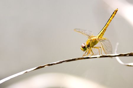 anisoptera: Tropical Rainforest Dragonfly