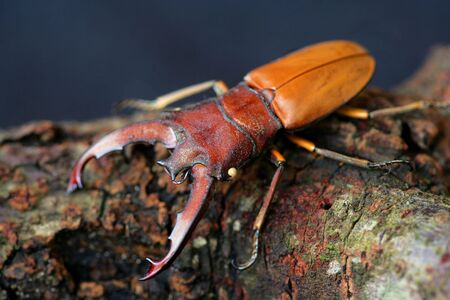 pinchers: Stag Beetle