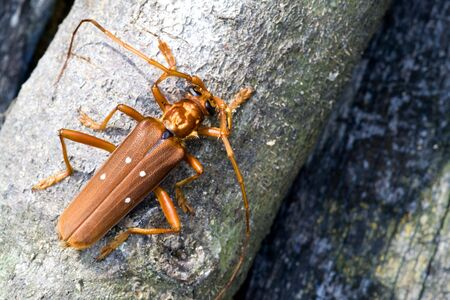 longhorn beetle: Tropical Rainforest Longhorn Beetle Stock Photo