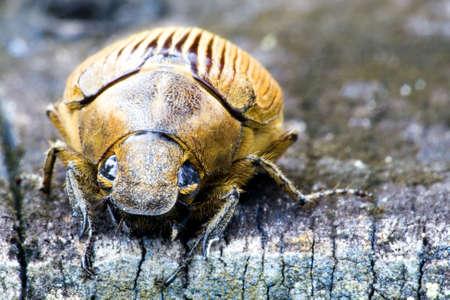 Tropical Rainforest Beetle