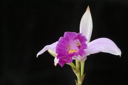 Malasia Orquídea salvaje (Arundina graminifolia) Foto de archivo - 1463857