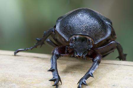 insecta: Rhinocerous Beetle (Xylotrupes gideon) Stock Photo
