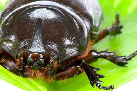 oryctes: Macro image of a Rhinocerous Beetle (Oryctes rhinoceros) found at the tropical rainforest of Bukit Tinggi, Pahang, Malaysia.