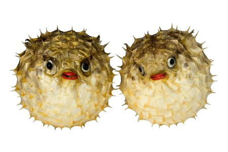 were: Isolated macro image of preserved puffer fish. These were made for display.