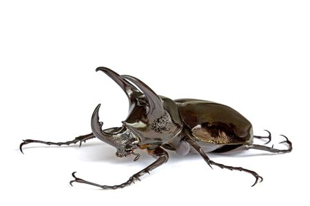 insecta: Isolated macro image of a male giant three-horned Rhino Beetle found at the worlds oldest tropical rainforest of Cameron Highlands, Malaysia. Stock Photo