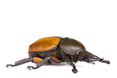 insecta: Macro image of a rare tropical rainforest beetle found at the tropical rainforest of Cameron Highlands, Pahang, Malaysia.