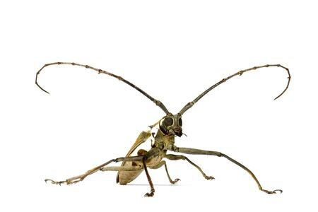 scientifically: Macro image of a Longhorn Beetle, known scientifically as Batocera parryi, found at the tropical rainforest of Cameron Highlands, Pahang, Malaysia.