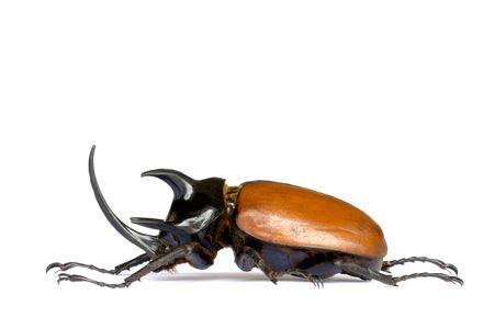 insecta: Isolated macro image of a giant male five-horned Rhino Beetle found at the tropical rainforest of Maxwell Hills, Perak, Malaysia. Stock Photo