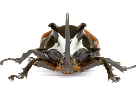 Isolated macro image of a giant male five-horned Rhino Beetle found at the tropical rainforest of Maxwell Hills, Perak, Malaysia. photo