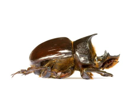 insecta: Isolated macro image of a large Dung Beetle found at the tropical rainforest of Cameron Highlands, Pahang, Malaysia.