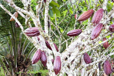 Image of cocoa pods at a plantation in Malaysia. Stock Photo