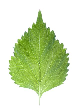 Isolated macro image of a Green Perilla leaf, also known as Green Shiso, Oba leaf or Beefsteak plant.