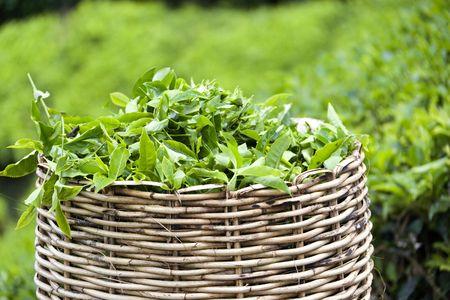 Image of a tea leaf basket used for harvesting tea leaves. Stock Photo