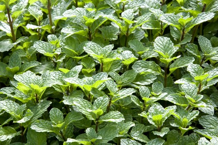 Image of mint leaves growing in a garden.