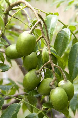 tahitian: Image of a Tahitian Apples growing in an orchard.