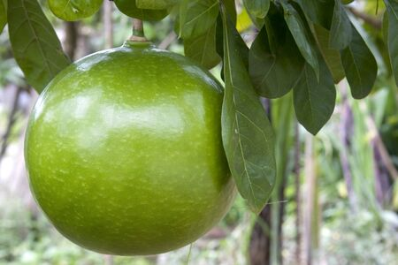 Image of a pomelo growing in an orchard. photo