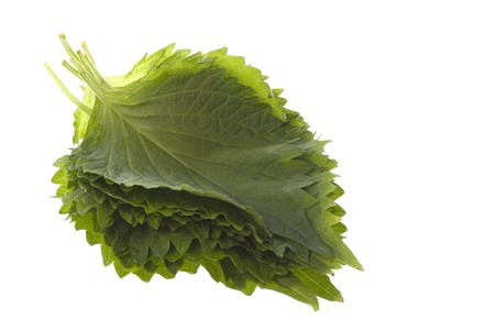 beefsteak: Isolated macro image of Green Perilla leaves, also known as Green Shiso, Oba leaves or Beefsteak plant.