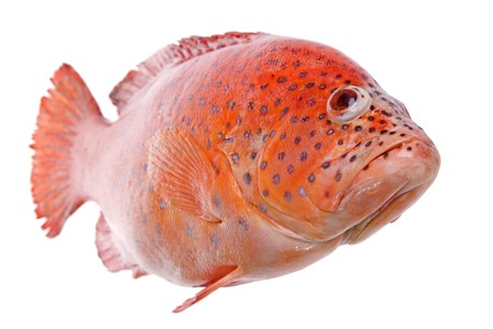 Isolated macro image of a red tilapia (cichlid) fish. Stock Photo