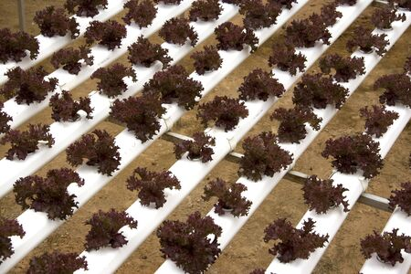 farmed: Image of organically farmed red coral lettuce in Malaysia. Stock Photo