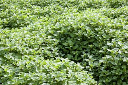 field mint: Image of a field of growing mint leaves.