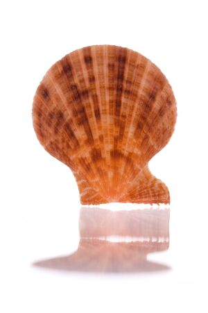 Isolated macro image of a scallop. Stock Photo - 4127604