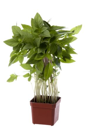 Isolated image of Thai Basil leaves.